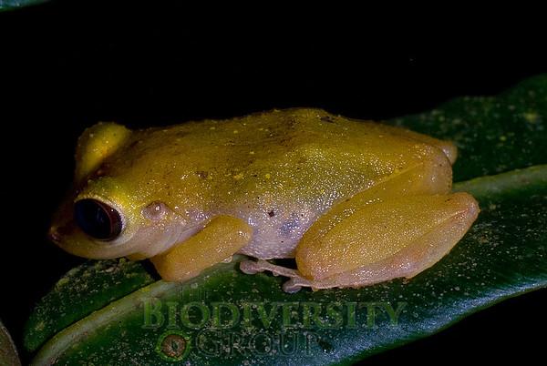 [RAEI_PaulSHamilton_DSC05313] Bosque Protector La Perla (just S of La Concordia), Esmeraldas Province, Ecuador