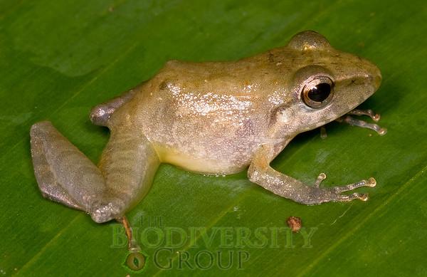 [RAEI_PaulSHamilton__DSC0344] Bosque Protector La Perla (just S of La Concordia), Esmeraldas Province, Ecuador