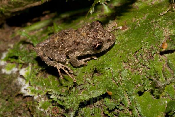 [RAEI_PaulSHamilton_IMG_8601] Bosque Protector La Perla (just S of La Concordia), Esmeraldas Province, Ecuador
