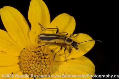Cantharidae.  Rancho Pan Duro, Sierra San Luis, Sonora, Mexico.