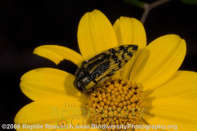 Buprestidae, Acmaeodera ampicollis.  Rancho Pan Duro, Sierra San Luis, Sonora, Mexico.
