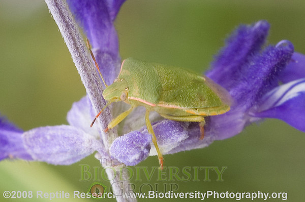 Pentatomidae.  Vicinity Leakey, Real County, Texas.