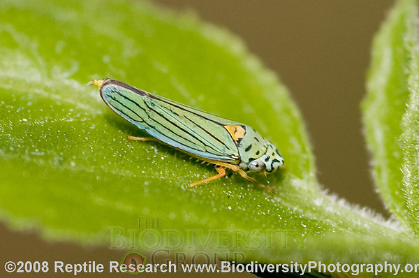 Cicadellidae, Hordnia sp.  Butterfly Trail, Mount Lemon, Arizona.