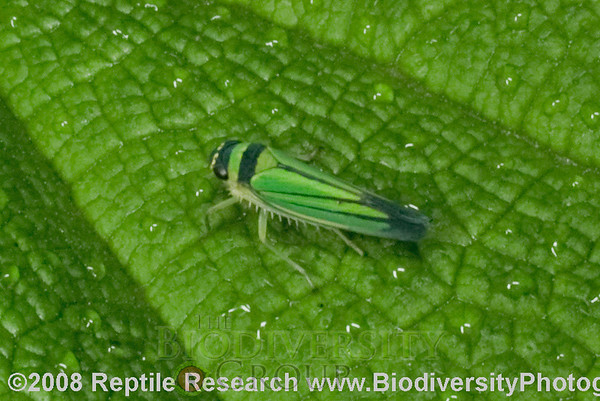 Cicadellidae.  Vicinty of Baeza, in the cloudforest on the eastern slopes of the Andes mountains, Napo, Ecuador.
