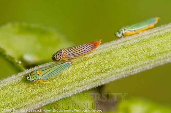 Cicadellidae, Hordnia sp.  Butterfly Trail, Mount Lemon, Arizona.