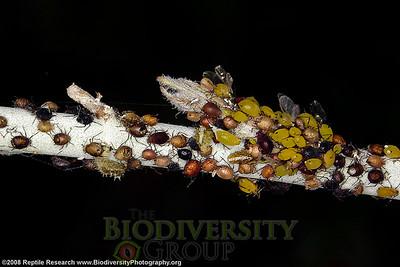 Aphididae.  Desert Botanical Gardens, Phoenix, Arizona.
