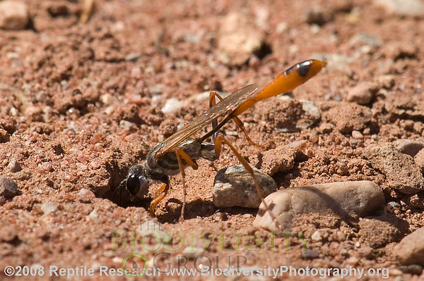 Sphecidae, Ammophila sp.  Near Hittle Bottom Campground, North of Moab, Utah.