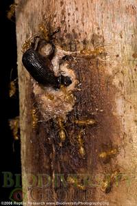Formicidae.  Estación Biológica Jatun Sacha near the Town of Misahualli in the Upper Amazon Rainforest, Napo, Ecuador.