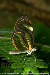 Nymphalidae, Ithomiinae, Pteronymia aletta lilla.  Bosque Protector La Perla near the town of La Concordia, Ecuador.