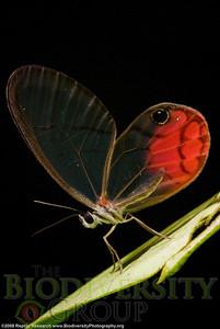 Nymphalidae, Ithomiinae, Cithaerias sp.  Bosque Protector La Perla near the town of La Concordia, Ecuador.
