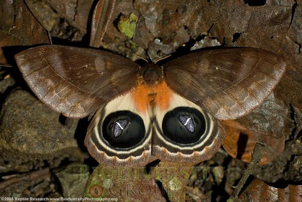 Saturniidae Automeris sp.  Cerro Pata de Pajaro, Ecuador.