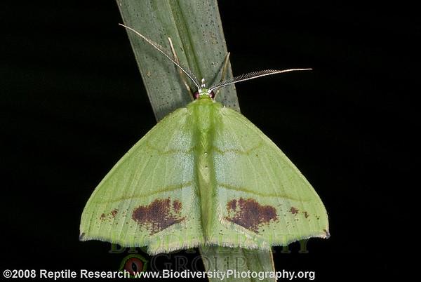 Geometridae.  Bosque Protector La Perla near the town of La Concordia, Ecuador.