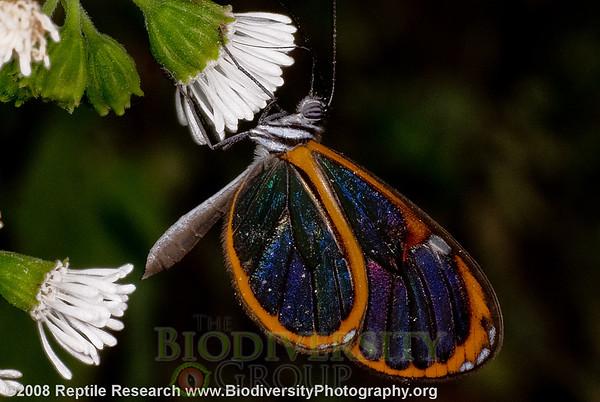 Nymphalidae, Ithomiinae.  Cerro Pata de Pajaro, Ecuador.