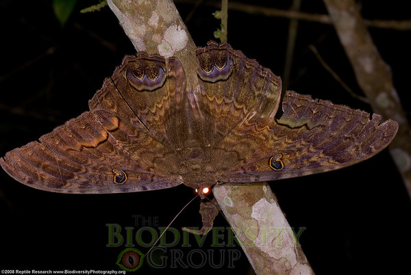 Noctuidae, Ascalapha odorata.  Lalo Loor Dry and Moist Forest Reserve, a few miles south of the equator on the Pacific Coast of Ecuador.