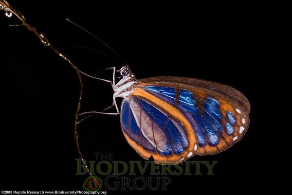 Nymphalidae, Ithomiinae, Oleria amalda modesta.  Bosque Protector La Perla near the town of La Concordia, Ecuador.