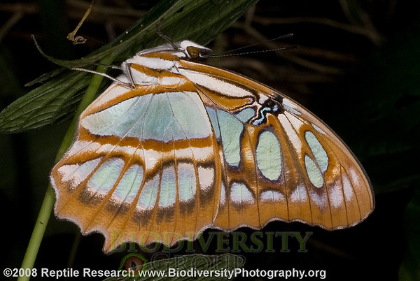 Nymphalidae, Malachite, Siproeta stelenes.  Bosque Protector La Perla near the town of La Concordia, Ecuador.