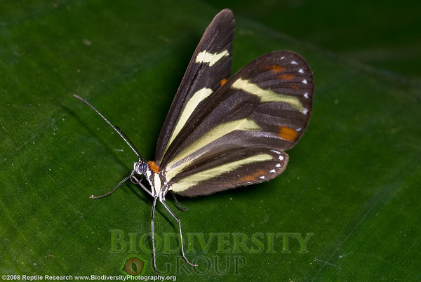 Nymphalidae, Ithomiinae, Scada zemira.  Bosque Protector La Perla near the town of La Concordia, Ecuador.