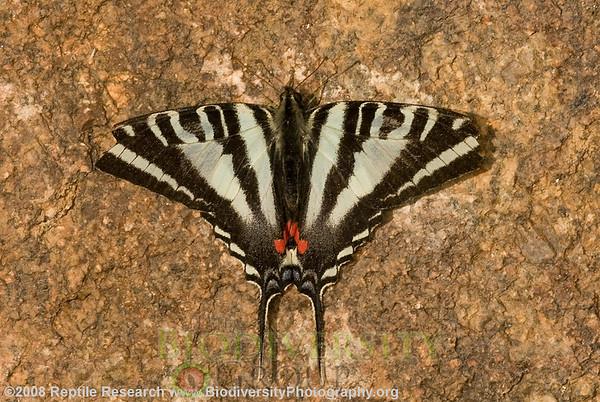 Papilionidae Eurytides. Zebra swallowtail, Eurytides marcellus
