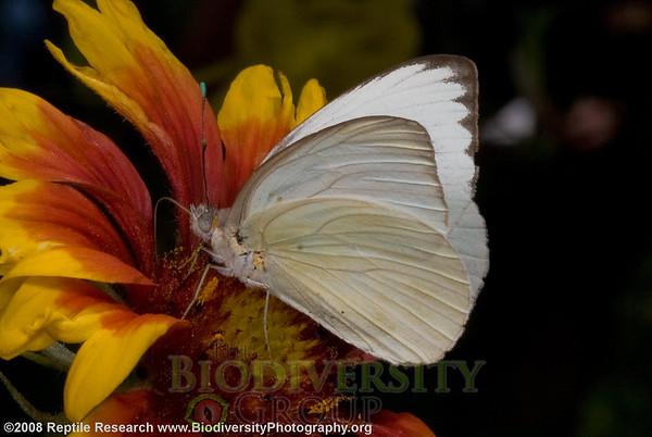 Pieridae Ascia.  Desert Botanical Gardens, Phoenix, Arizona.