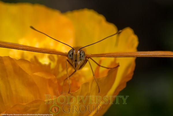Nymphalidae Dryas.  Desert Botanical Gardens, Phoenix, AZ.
