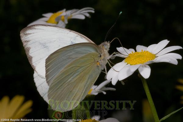 Pieridae, Great southern white, Ascia monuste.  Desert Botanical Gardens, Phoenix, Arizona.