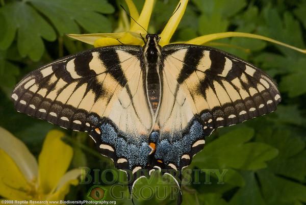 Papilionidae, Western tiger swallowtail, Papilio rutulus arizonensis.  Desert Botanical Gardens, Phoenix, Arizona.