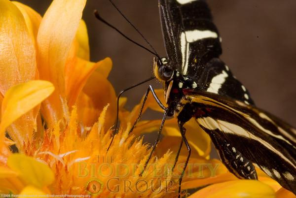 Nymphalidae. Zebra, Heliconius charitonius.  Desert Botanical Gardens, Phoenix, Arizona.