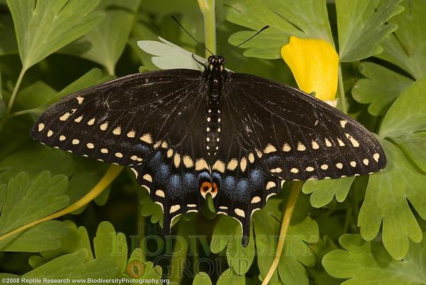 Papilionidae, Black swallowtail, Papilio polyxenes asterius.  Desert Botanical Gardens, Phoenix, Arizona.