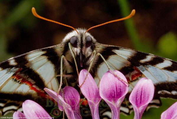 Papilionidae Eurytides.   Desert Botanical Gardens, Phoenix, Arizona.