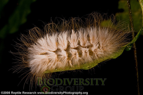 Megalopygidae, Megalopyge sp. Bosque Protector La Perla near the town of La Concordia, Pichincha, Ecuador.
