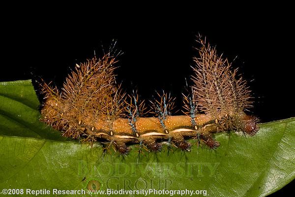 Saturniidae, Automeris postalbida.  Cerro Pata de Pajaro, Manabi, Ecuador.
