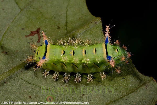 Limacodidae, Parasa macrodonta.  Cerro Pata de Pajaro, Manabi, Ecuador.