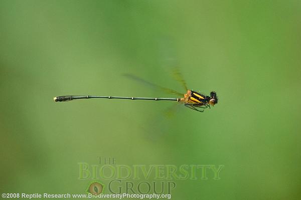 Odonata.  Undara Volcanic National Park, Australia.