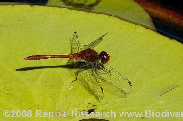 Odonata.  Bredl's Blue Planet, Australia.
