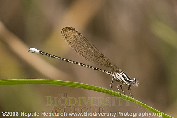 Odonata.  Estación Biológica Jatun Sacha near the Town of Misahualli in the Upper Amazon Rainforest, Ecuador.