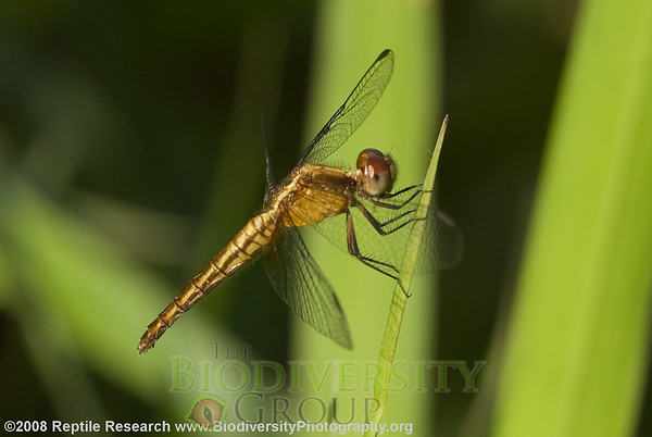 Libellulidae.  Estación Biológica Jatun Sacha near the Town of Misahualli in the Upper Amazon Rainforest, Ecuador.