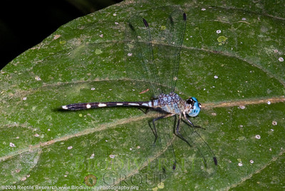 Odonata.  Bosque Protector La Perla near the town of La Concordia, Ecuador.