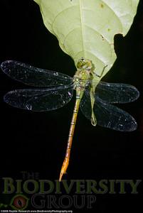 Aeshnidae.  Bosque Protector La Perla near the town of La Concordia, Ecuador.