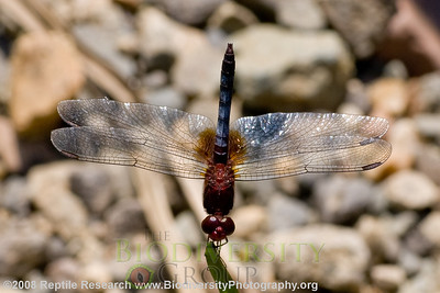 Libellulidae, Erythrodiplax fusca.  Estación Biológica Jatun Sacha near the Town of Misahualli in the Upper Amazon Rainforest, Ecuador.