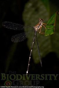 Megapodagrionidae, Philogenia sp. SONY DSC