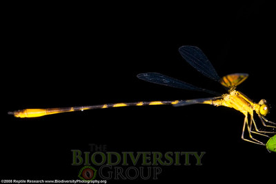Megapodagrionidae, Heteragrion sp.  Bosque Protector La Perla near the town of La Concordia, Ecuador.