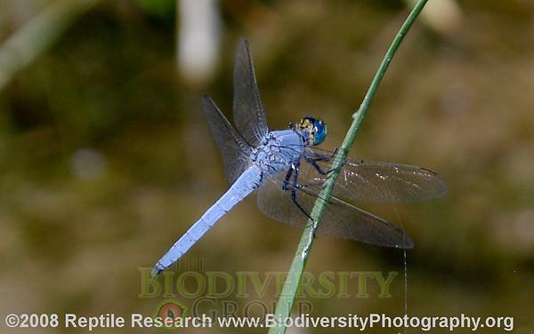 Odonata Western pondhawk, Erythemis callocata.  Hassayampa River Preserve, Arizona.