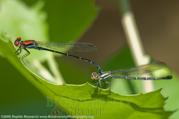Odonata Coppery dancer, Argia cuprea.  Lost Maples State Park, Texas.