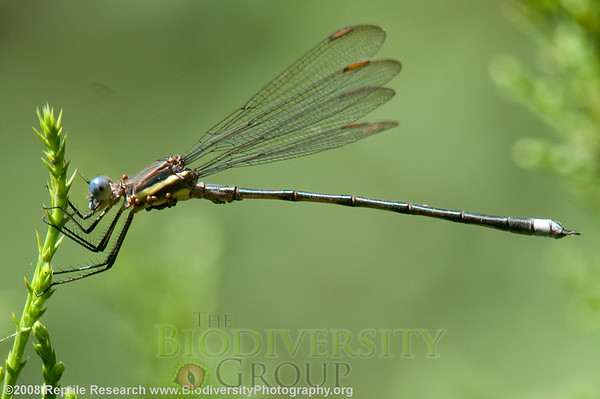 Odonata.  Lost Maples State Park, Texas.