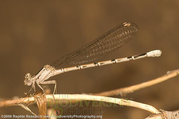 Odonata Argia sp.  Negro Bill Canyon, near Arches National Park, Utah.