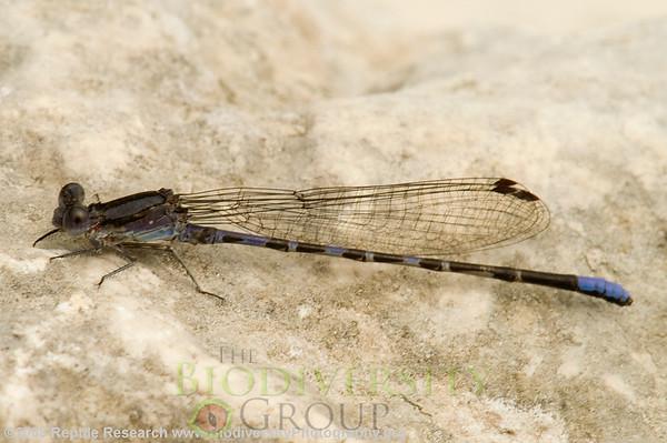 Odonata Argia cf. fumipennis.  Lost Maples State Park, Texas.
