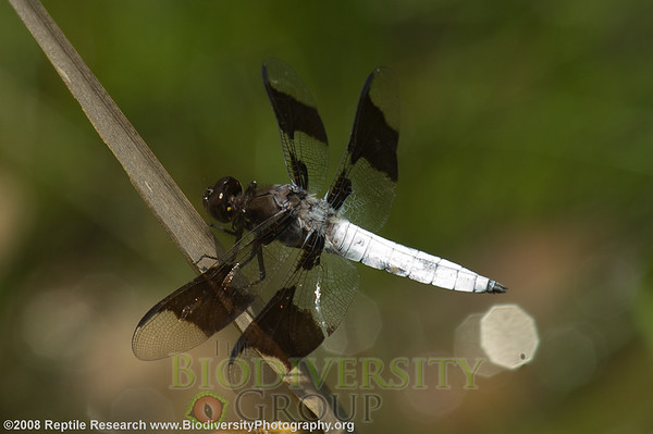 Odonata Libellula lydia.  Lost Maples State Park, Texas.