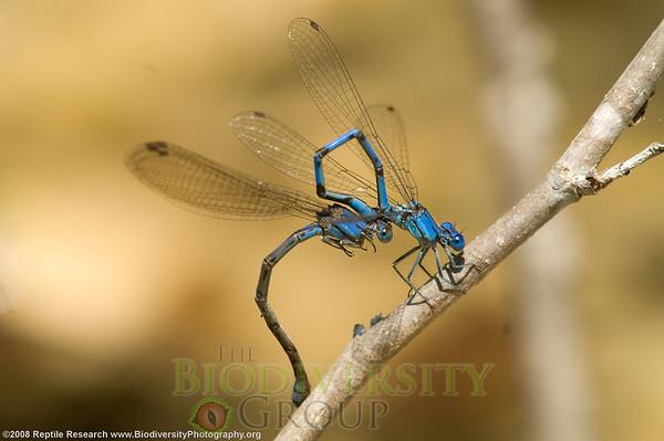 Odonata Argia plana.  Lost Maples State Park, Texas.