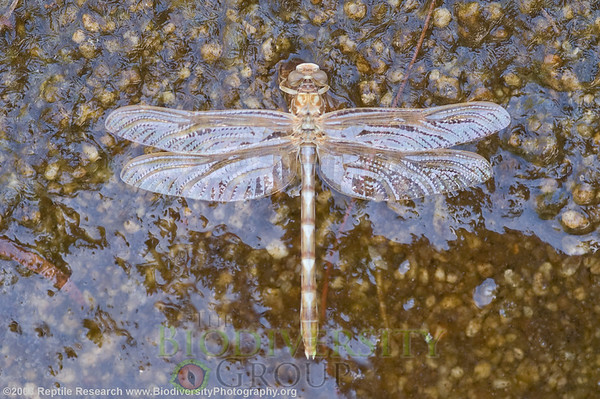 Odonata.  Sabino Canyon, Tucson, Arizona.