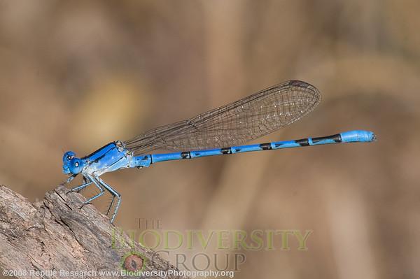 Odonata Vivid dancer, Argia vivida.  Negro Bill Canyon, near Arches National Park. Utah.